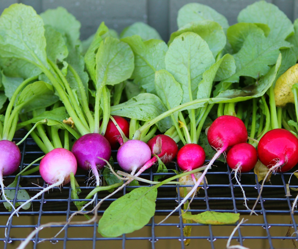 Beautiful radishes ready for packaging!